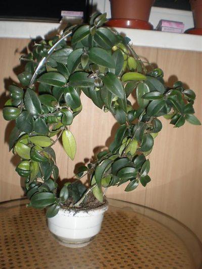 Eschinantus tumbuh pada dukungan melengkung