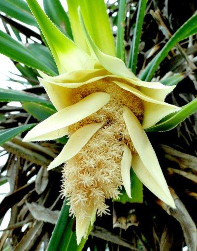 Pandanus Flower.