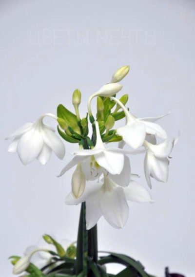 Euharicis Flower.