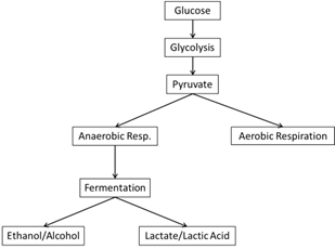 stages of glycolysis and fermentation diagram porsche 964 wiring cell respiration wyzant resources anaerobic cycle
