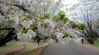 今年の桜は2分咲きくらいかと思ってたらすぐに満開になって、花見に行く暇もなかったなぁ。
