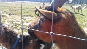 Loki, the farm's prized buck