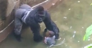 harambe the ape grabs a child who fell in the cage