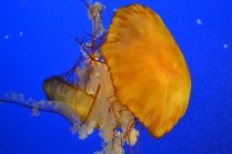 Jellyfish at Aquarium - Vancouver, British Columbia