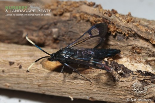 "<a href=""/clm/species/synanthedon_exitiosa""><em>Synanthedon exitiosa</em></a> (Peachtree Borer) adult male."