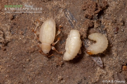 "<a href=""/clm/species/otiorhynchus_sulcatus""><em>Otiorhynchus sulcatus</em></a> (Black Vine Weevil) adult, pupa and larva."