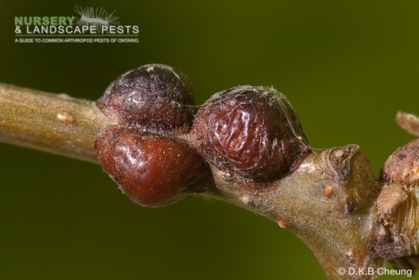 "<a href=""/clm/species/parthenolecanium_corni""><em>Parthenolecanium corni</em></a> (European Fruit Lecanium Scale) adult."