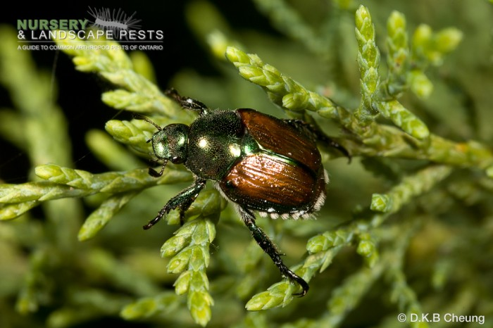 "<a href=""/clm/species/popillia_japonica""><em>Popillia japonica</em></a> (Japanese Beetle) adult on cedar."