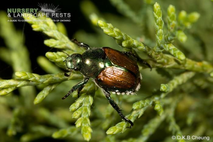 "<a href=""/clm/species/popillia_japonica""><em>Popillia japonica</em></a> (Japanese Beetle) adult on cedar."