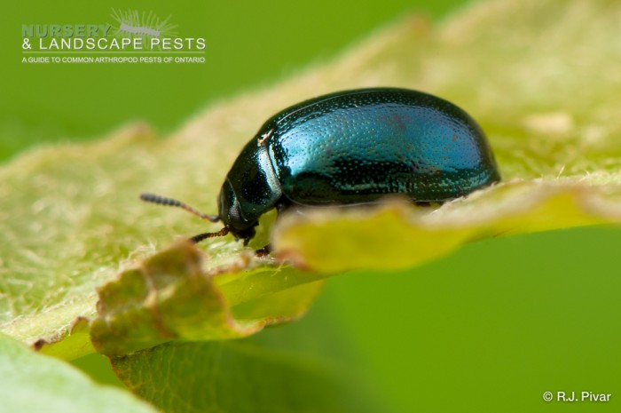 "<a href=""/clm/species/plagiodera_versicolora""><em>Plagiodera versicolora</em></a> (Imported Willow Leaf Beetle) adult on willow."