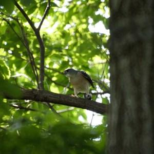 餌の小鳥を持ち、雌を待つツミの雄