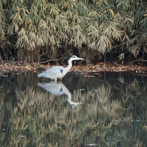 池をゆっくりと歩くアオサギ