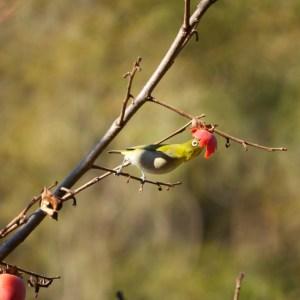 柿を突くメジロ