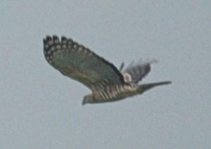 上空を飛んだ猛禽