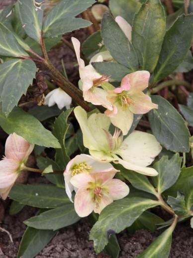 Helleborus niger  Kerstroos  De Tuinen van Appeltern