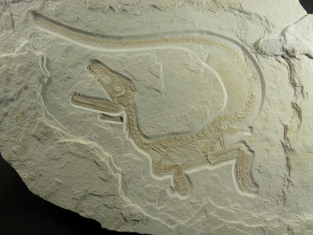 Skeleton of Sciurumimus as found on a limestone slab. © H. Tischlinger/Jura Museum Eichstätt