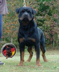 dkv-rottweilers-rottweiler-puppies-for-sale-bronkino-von-der-korperkraft-13