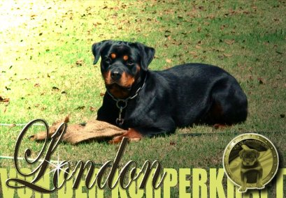 dkv-rottweilers-rottweiler-puppies-for-sale-london-von-der-korperkraft-2