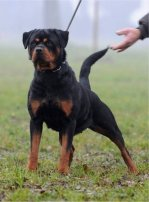 dkv-rottweilers-rottweiler-puppies-for-sale-sila-1a