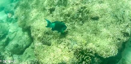 Bridled Parrotfish (Scarus frenatus) with Cauliflower Coral (Pocillopora meandrina)