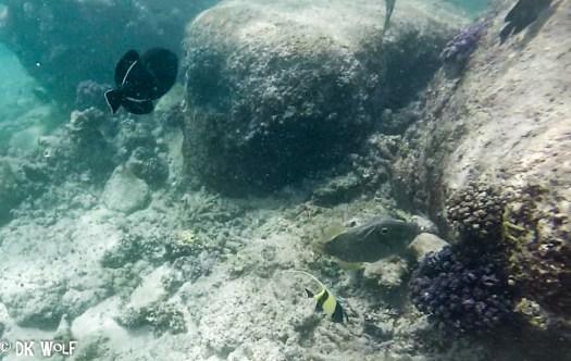 Left: Indian Triggerfish (Melichthys indicus) Right: Whitespotted Filefish (Cantherhines dumerilii), Right bottom: Moorish Idol (Zanclus cornutus)