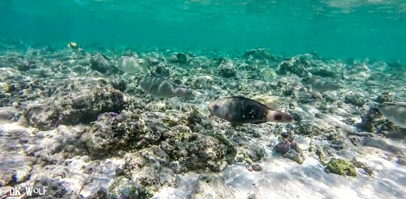 Harem of females with Bullethead Parrotfish Female (Scarus sordidus)