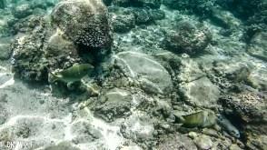 Right: Brown Surgeonfish (Acanthurus nigrofuscus) Left: Rabbitfish (Siganus sp.)