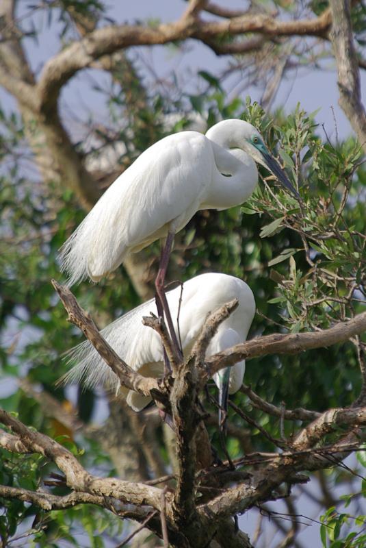 Eastern Great Egret Ardea modesta breeding building nest