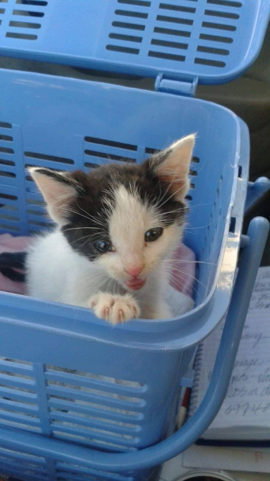 Free Kittens Kansas City Area : kittens, kansas, Adoption, Another, Chance, Rescue,, Kansas, City,, Petfinder