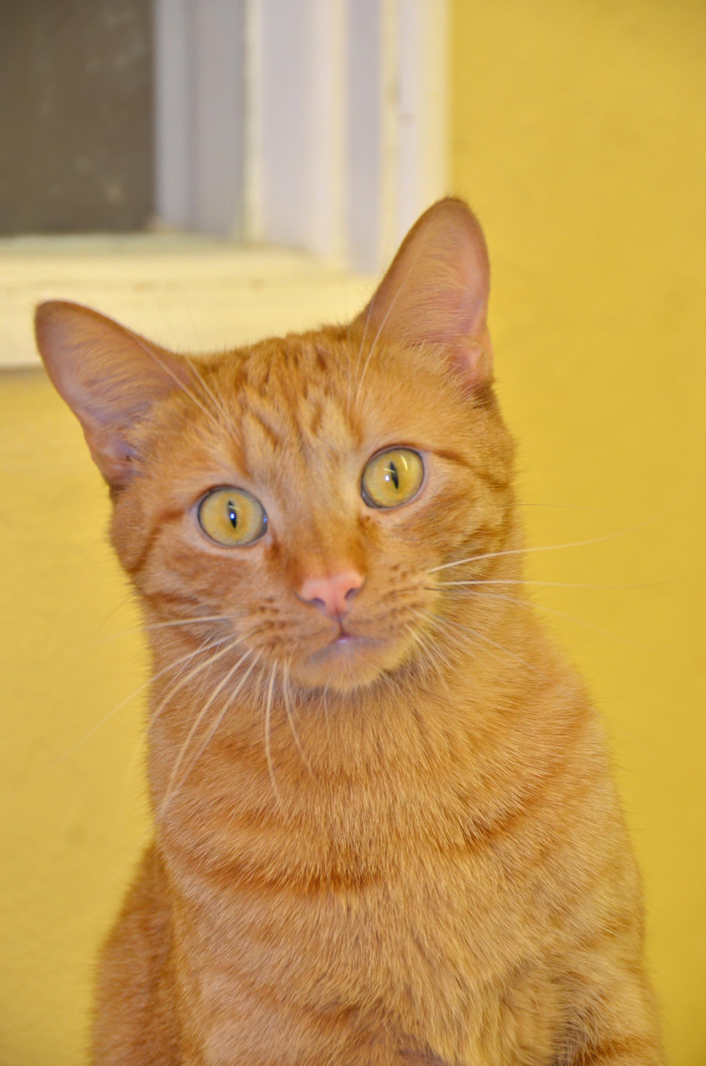 Free Kittens Kansas City Area : kittens, kansas, Adoption, Spaghetti, Tabby, Kansas, City,, Petfinder