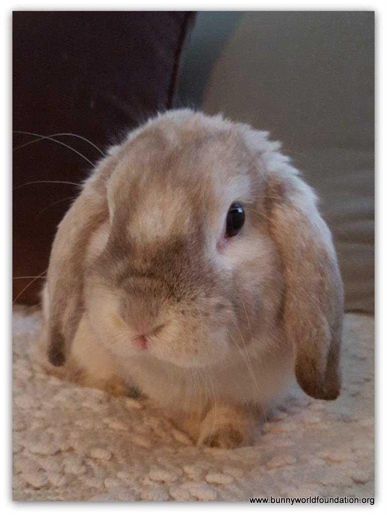 Baby Mini Lop Bunnies For Sale Near Me : bunnies, Rabbit, Adoption, Lover, Holland, Angeles,, Petfinder