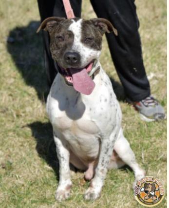Pointer Pitbull Mix Puppies : pointer, pitbull, puppies, Adoption, Murphy,, Terrier, Pointer, Vernon,, Petfinder