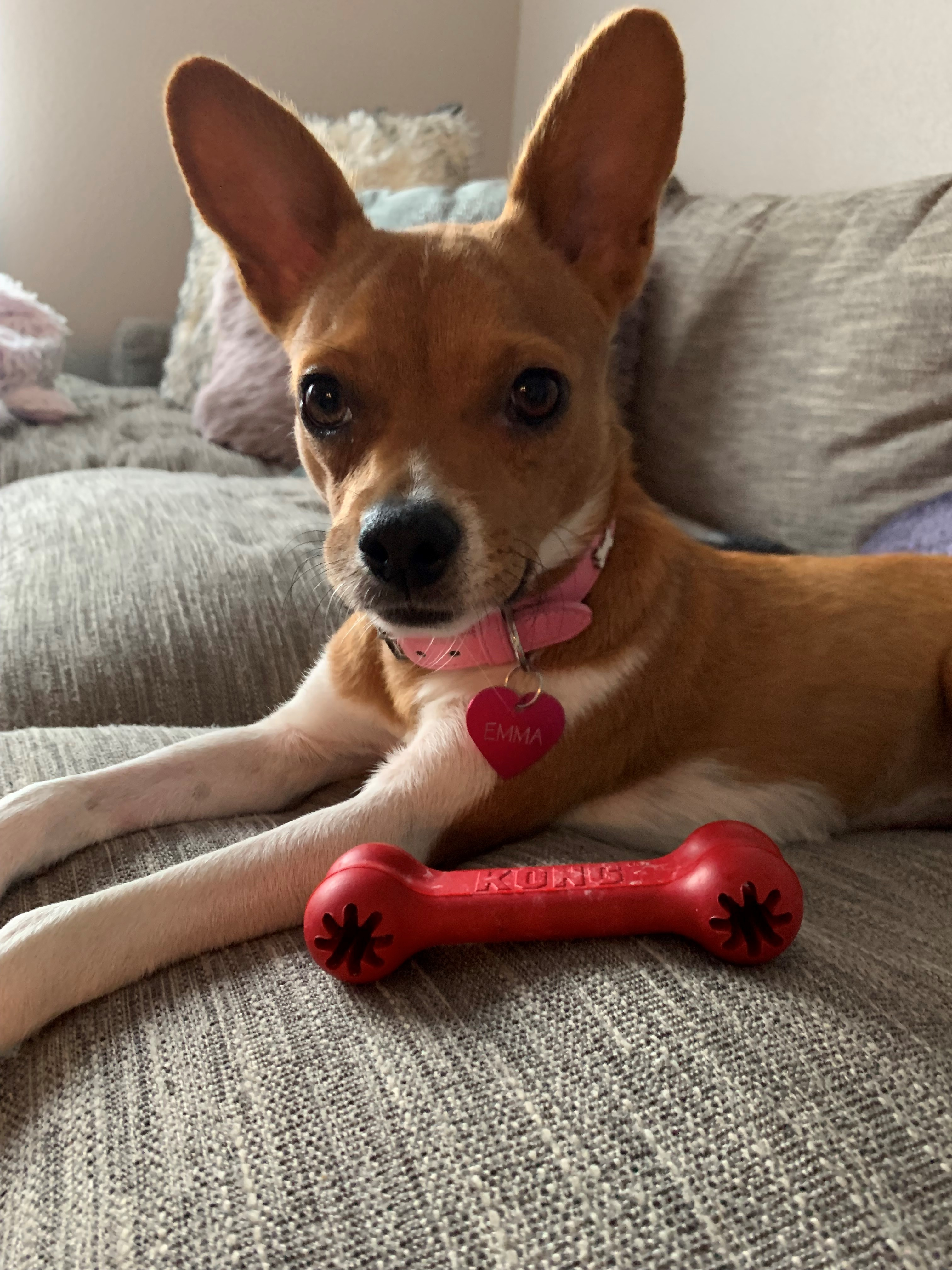 Toy Rat Terriers For Sale : terriers, Adoption, Emma,, Chihuahua, Terrier, Gilbert,, Petfinder