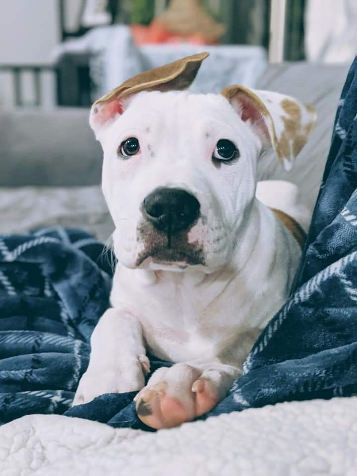 Pointer Pitbull Mix Puppies : pointer, pitbull, puppies, Adoption, Lucas,, Terrier, Pointer, McKinney,, Petfinder
