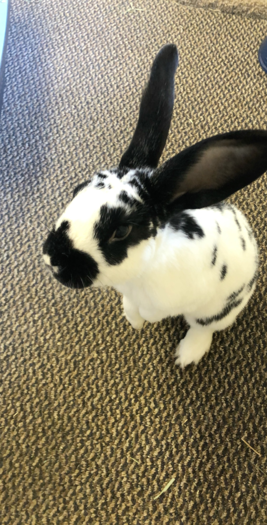 Real Bunnies For Sale Near Me : bunnies, Rabbits, Adoption, Philadelphia,, Petfinder
