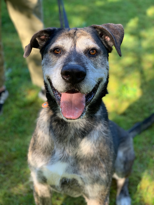 Great Dane Wolfhound Mix : great, wolfhound, Adoption, Checkers,, Great, Irish, Wolfhound, Mountlake, Terrace,, Petfinder