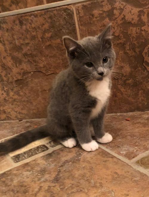 Kittens For Sale In Ky : kittens, Louisville, Adoptable, Pets:, Zelda,, Flick,, Kringle, Louisville,, Patch