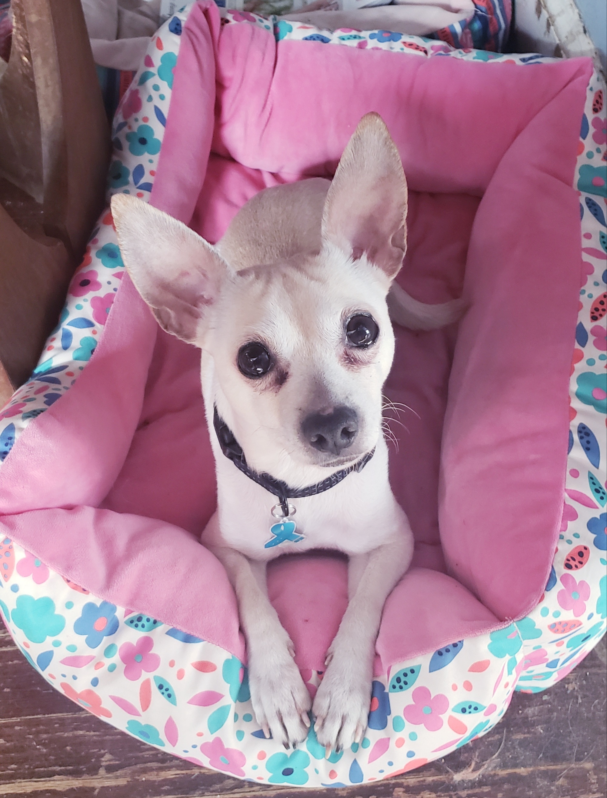 Heart To Tail Travel Pet Bed : heart, travel, Adopt, Clawson, Shelters:, Dogs,, Added, Clawson,, Patch