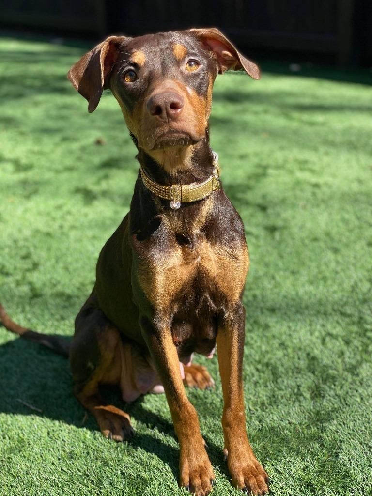 Doberman Puppies Nc : doberman, puppies, Adoption, Godiva,, Doberman, Pinscher, Hound, Waxhaw,, Petfinder