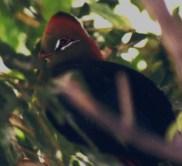 Fischer's Turaco (zoo bird pictured)