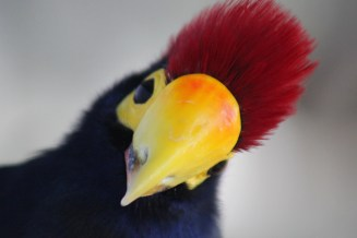 Lady Ross Turaco