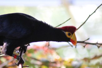 lady Ross x Violaceous Turaco Hybrid