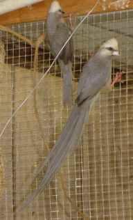 White Head Mousebird and Juvenile