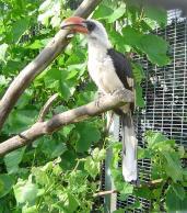 Von der Deckin Hornbill (male)