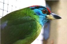 Blue Throat Barbet