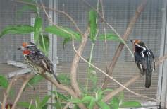 Black Spotted Barbet Pair