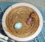 Red Face Liocichlia Egg & Chick