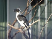 Von der Deckin Hornbill (female)