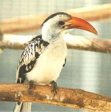 Red Bill Hornbill (male)