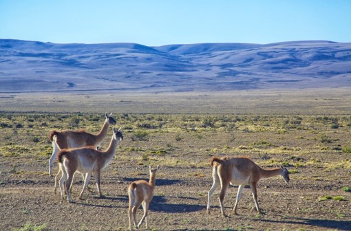 The guacano. A camelid relative of the llama found (much) further north.